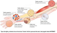 Tipo de Tejidos : Epitelial , Conectivo (adiposo) , Muscular y Nerviso.