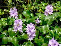 Jacinthe d'eau (Eichhornia crassipes)