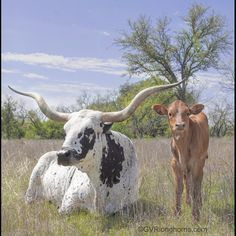 'Don't mess with my baby' look 👀 #babysittingduties Texas longhorn cow, Jasmine Blossom with her longhorn heifer calf. #gvrlonghorns #longhorns #Texaslonghorncattle #longhornsforsale Longhorn Cow, Longhorn Cattle, Cattle Farming, Livestock, Calves For Sale, Stephenville Texas, Cattle For Sale, Green Valley Ranch, Raising Cattle