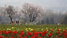 Tulip Garden Kashmir ( Jammu & Kashmir )
