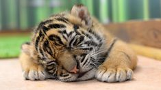 Baby tiger taking a nap 🐯💤 Tag a friend below! Baby Animals Pictures, Cute Animal Pictures, Cute Baby Animals, Animals And Pets, Wild Animals, Tiger Photography, Wildlife Photography, Gato Animal, Gato Grande