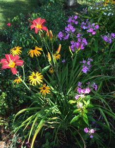 long blooming combination with Rudbeckia 'Goldstrum', a stella type reblooming daylily and purple phlox 'Volcano'