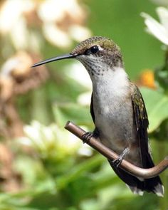 Immature male Ruby-throated Hummingbird.  August 2011.