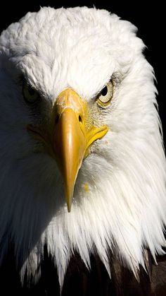 this eagle has a very cool expression. i'm not sure how i want the eagle facing. but this one has a cool amount of value contrast. The Eagles, Eagle Images, Eagle Pictures, Pictures Images, Photos, Nature Animals, Animals And Pets, Cute Animals, Eagle Animals