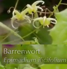 Barrenwort  or Epimedium ilicifolium