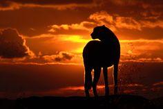 Sonnenuntergang mit Gepard von Claudia N. Schreiber-Jäggi