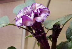 Purple Petticoats Datura