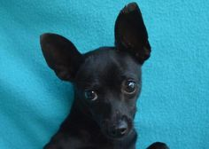 Nixus - URGENT - Valley Oak SPCA in VISALIA, CA - ADOPT OR FOSTER - 2 year old Male Chihuahua Mix