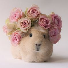 The Newest Adorable Animal On Instagram Is A Guinea Pig Named Booboo (By Megan van der Elst) - (buzzfeed)