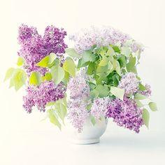 Lilac  Photograph a  Floral Art Print Purple Bouquet by JudyStalus (Tang)