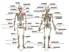 Tricks for Remembering Bones in Anatomy | Learning and Anatomy