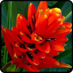 Musa uranoscopus floral profile