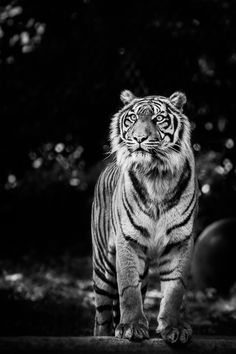 Photograph Dark Tiger by Stefan Klausmeyer Photo Tigre, Beautiful Cats, Animals Beautiful, Tiger Fotografie, Animals And Pets, Cute Animals, Tiger Photography, Save The Tiger, Wild Life