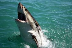 In the food chain of sea creatures, the Great White Shark stands comfortably at the top for it has 4 foot wide jaws which have up to 300 sharp and serrated teeth standing in a row. Shark Jaws, Shark Diving, The Great White, Great White Shark, Orcas, Different Types Of Sharks, Poisonous Animals, Shark Family, Kayak Fishing