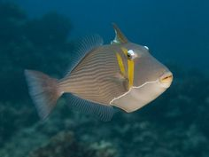Sikkeltrekkervis - Bursa triggerfish, Scythe Triggerfish, Lei Triggerfish or Boomerang Triggerfish - Gele of grijze tekening onder de ogen.