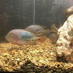 Live Aquarium Fish, Freshwater Aquarium Fish, Cichlid Aquarium, Fish Stock, Cichlids, Tropical Fish, Fresh Water, Exotic, American