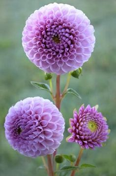 I need to plant some dahlias this year! I love them!