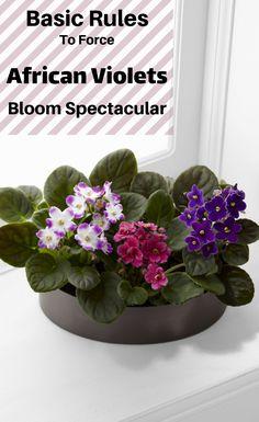 Basic Rules To Force African Violets Bloom Spectacular Indoor Plants, Indoor Flowers, Indoor Gardening, Potted Plants, Organic Gardening, Garden Care, Garden Tips, Garden Projects, Garden Ideas