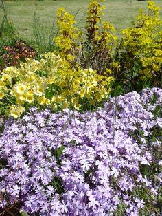 Phlox mousse floraison mai