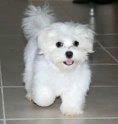 Image result for Adult Maltese Puppy Cut