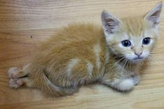 Kitten can't use his back legs but is full of enthusiasm