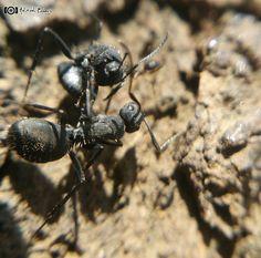 Fighting ants  #natureart #nature #beautiful #natureaddict #naturelovers #awesomeearth #igersindia #earthpix #nature_perfection #igs_asia #photography #india_ig #fotofanatics_macro_ #top_macro #rasayani #insect #ant #closeup #igs_alls #macrophotography #macro_perfection #desi_foto #macro_holic #i_hobbygraphy #macro_aroundworld #mobile_perfection #mobile_nature #mobilecaptures #mobile_click #xiaomi by ashitosh_kedari_s_clicks