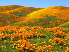California Poppies. If anyone knows the name of the photographer let me know. I would love to give them credit.