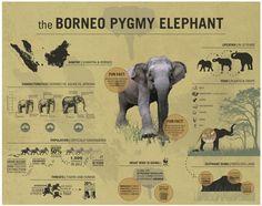 WWF Borneo Pygmy Elephant - Infographic via Behance Elephant Facts, Asian Elephant, Elephant Love, Giraffe, Animal Species, Endangered Species, Animals Of The World, Animals And Pets, Animal Kingdom