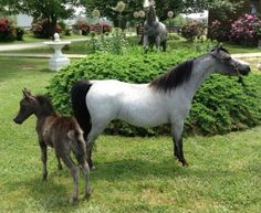 """I currently have 2 horses left for sale.  RFM Thunders Zygris MJM Thunders Zygris - AMHR  6/15/09 29.25"""" AMHA/AMHR Blue Roan w/Bald Face & Blue Eyes Sire: Reeces Thunder Hawk ... Dam: GES Gwen $5000  RHA Unique Sophistication AMHR/ASPC 2yr old mare. Was in the first group that won National Champion get of Sire for Legend! Pm me if your interested. $5000  Located in Montana at Magnificent Journey Miniatures and Shetlands. Sale promotion by Lil Beginnings Miniature Horses"""