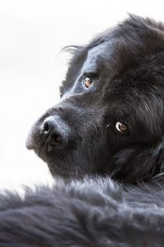 Newfoundland  Don't let their size be intimidating, these gentle giants are wonderful family dogs. Referred to as a workhorse, this dog would love nothing more than to pull around the kiddos in a sled on the snow. Nana from the story of Peter Pan was a Newfie.