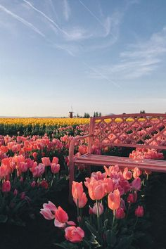 tulips garden care Quick Trip To Oregon - Gal Meets Glam Wooden Shoe Tulip Festival, Oregon Spring Aesthetic, Nature Aesthetic, Flower Aesthetic, All Nature, Flowers Nature, Field Of Flowers, Tulips Garden, Planting Flowers, Beautiful Flowers