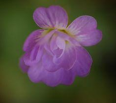 Pinguicula primuliflora var. rosei | 2 - 3 cm