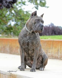 Cane corso europe cane corso kennel dog and puppy kennel breeder and exhibitor of champion working cane corso malvernweather Image collections