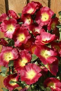 Alcea Rosea 'Halo Red & Yellow'-no cottage garden is complete without Hollyhocks!