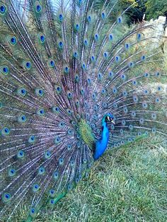Pretty peacock with his feathers ALL fanned out!!! Pretty...