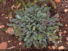 """Salvia canescens. Nom commun : Sauge, Hoary sage. Le nom signifie """"qui blanchit"""" en latin, décrivant la pilosité blanc argenté qui recouvre les feuilles. Jolies rosettes de feuilles persistantes gris argenté, velues, légèrement aromatiques. Épis ramifiés de fleurs bleu violet intense. Pour sol très drainé, sinon la plante survit mal aux excès d'humidité.     Origine : Caucase."""