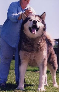 Giant alaskan malamute  @signora aurora Williams    look at this big naughty boy