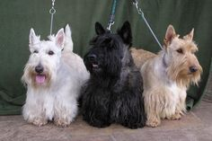 Three of the Scottish Terrier colorings they come in. Mackenzie Galen Hearts Delight had a litter of five and had all the combinations in the litter. The one on the right is a red...isn't it gorgeous?