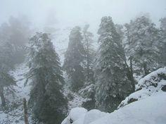 Pinsapos nevados en la Sierra de las Nieves 2011