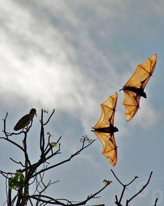 Fruit Bats in Palawan Philippines Creatures Of The Night, All Gods Creatures, Philippines, Bat Flying, Fruit Bat, Vampire Bat, Palawan, Amazing Nature, Beautiful Creatures