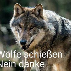 Bitte teil dieses Foto wir wollen nicht das der Wolf wieder gejagt wird 😢 Bitte teilen #wolf #schaf #tierschutz #rotkäpchenlügt #naturschutz #natur #hund #wölfe #schäfer #naturliebhaber