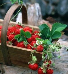 I loved picking strawberries, every year with my mom when I was little, at a farm down the street from us. Good memories.
