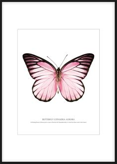 Poster with pink butterfly on white background. The poster matches completely with our different smaller posters with butterflies and bugs. This candy butterfly poster combines effectively with different posters in related pink hues or Butterfly Drawing, Butterfly Painting, Pink Butterfly, Butterfly Print, Papillon Rose, Gold Poster, Pink And White Background, Tableau Design, Paintings