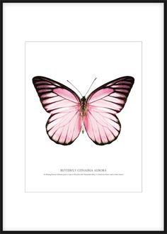 Fin affisch med fjäril. Poster med rosa fjäril på vit bakgrund. Sätt denna poster i en tavelram och gör en fin tavla. Stort utbud av prints och planscher med insekter, fjärilar och djur hos desenio.se