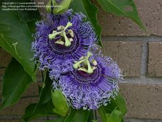 PlantFiles Pictures: Passion Flower, Passionflower, Passion Vine, Passionvine 'Blue Eyed Susan' (Passiflora) by LouisianaMark