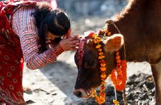 Blessings of the Bovine The cow is worshiped in India and Indians revere the animal. Cow's milk and ghee are supposed to have medicinal qualities. At Shatika, we respect the Cow as our 'Mother' and hon our, the weaver, who painstakingly crafts a saree.