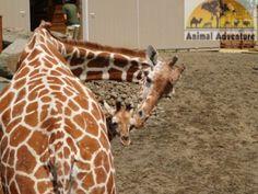 April the Giraffe Dad Baby, New Baby Boys, Animals And Pets, Cute Animals, Wild Animals, Baby Animals, I Can Haz, Giraffe Family, Gentle Giant