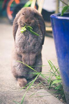 My French Lop named Sjakie! Bunny Pics, Bunny Bunny, Bunny And Bear, Baby Bunnies, Cute Bunny, English Lop Rabbit, French Lop Rabbit, New Zealand Rabbits, House Rabbit Society