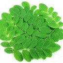8 poderosos motivos para tomar Moringa ecoagricultor.com