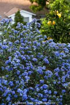 Blue flowering California Lilac shrub (Ceanothus 'Julia Phelps') in drought tolerant Southern California garden with native plants. For an easy start, plant Ceanothus in the Fall. California Lilac, California Native Garden, California Backyard, Southern California, Drought Resistant Plants, Drought Tolerant Landscape, Backyard Plan, Backyard Landscaping, Landscaping Ideas